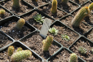 Potted cacti.jpg