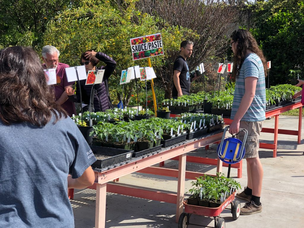 The tomato plants to make sauce or paste were a favorite among many people at the Fullerton College Tomato Sale.