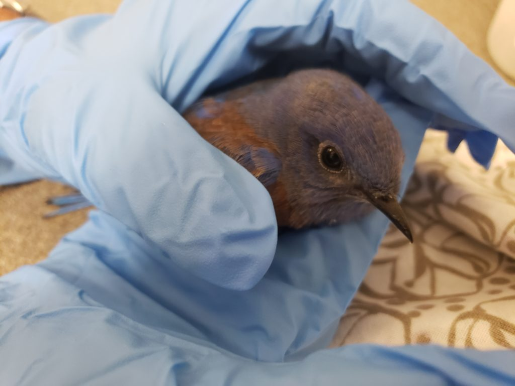 Bluebird rescued from the Blue Ridge and Silverado fires.