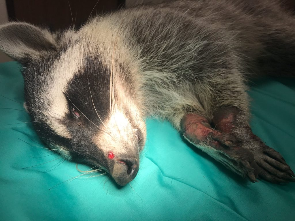 Burnie the raccoon who suffered 1st and 2nd degree burns from the fires as well as a nose injury.