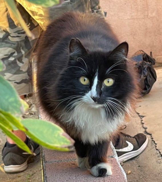 A cat named Shadow from one of the Fullerton colonies, OC Community Cats feeds.
